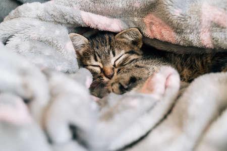 Sleeping kitten in grey soft blanket. Cute feline friend. Catnap habits and sleep training. Cozy home with pet. Cat vaccination Banco de Imagens
