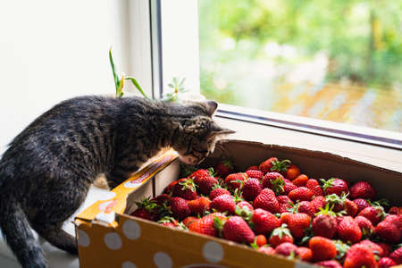 Strawberry top view background. Summer food. Cozy cottage home in countryside. Cat pet and box of fresh picked berries