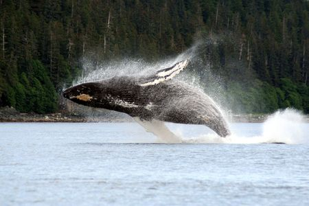 breaching Whale in Alaska Stock Photo - 703322