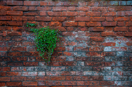 clinging: Plant in the Wall Stock Photo