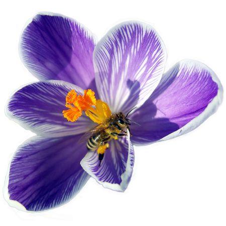 Bee on spring crocus flower.