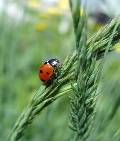 fescue: Ladybird.