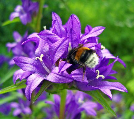 Bumblebee on bluebell. photo