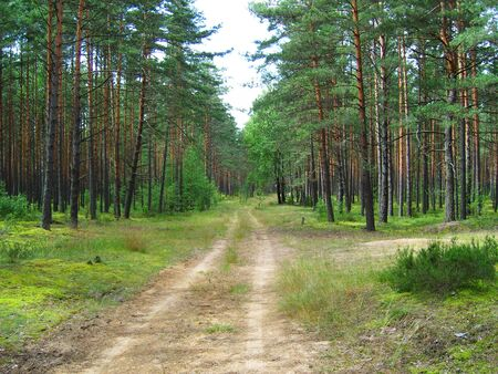 The road in pine forest. photo