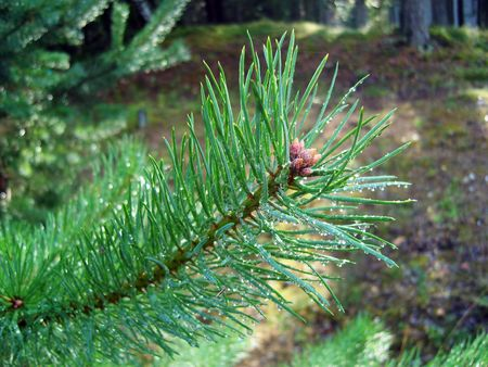 Sparkling drops on pine needles after rain. photo