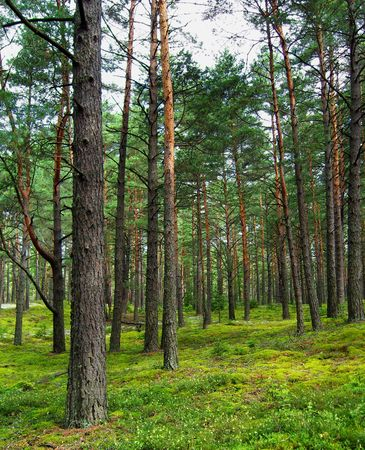 Pine forest. photo