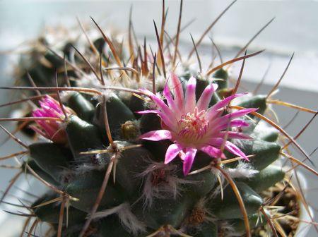 Flower of cactus. photo