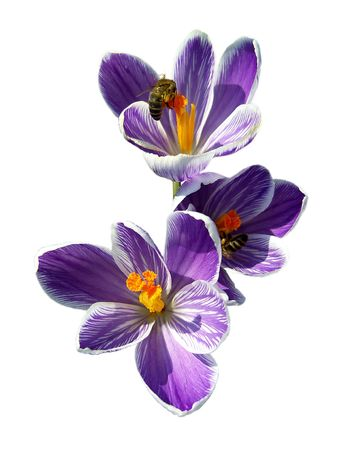 Bees on spring crocuses isolated on white.
