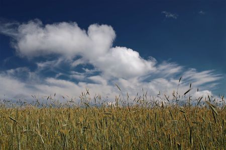 gramineous: Field in summer. Stock Photo