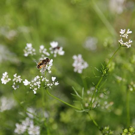 tarsus: Ape su fiori di coriandolo. Archivio Fotografico