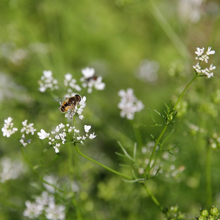 Bee on coriander flowers. photo
