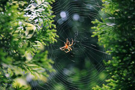 tarsus: Garden spider (Araneus diadematus) hanging in its spiderweb.