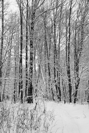 woodland scenery: Snow in winter forest.