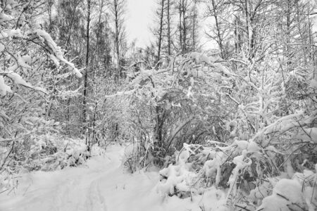 snowcovered: Snow-covered forest. Winter landscape.