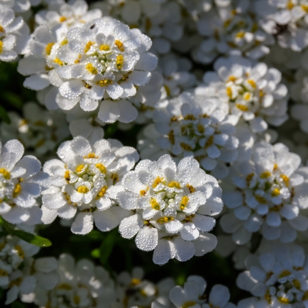 perennial: Candytuft (Iberis) in drops of early dew. Stock Photo