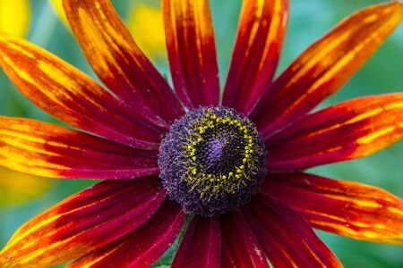 Core of Coneflower  Rudbeckia    photo