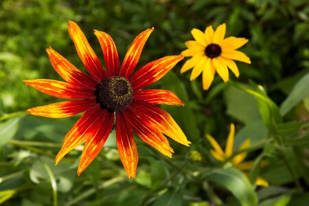 Flowers of Coneflower (Rudbeckia). photo