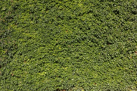twining: Ivy  Hedera   Wall covered with foliage of ivy  Natural green background