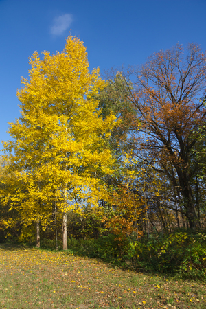 quaking aspen: Yellow foliage of European aspen  Populus tremula  in autumn  Stock Photo