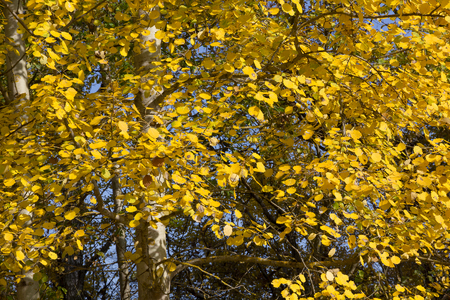 quaking aspen: Foliage of European aspen  Populus tremula  in autumn  Natural yellow textured