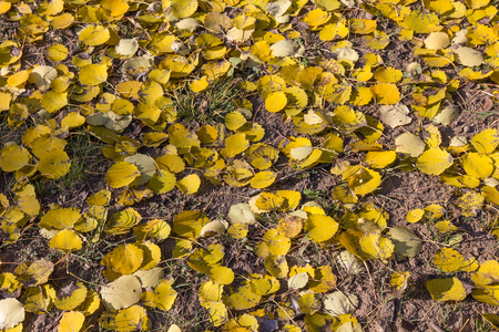 quaking aspen: Dead foliage of European aspen  Populus tremula  in autumn  Natural yellow textured