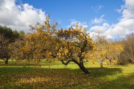 APPLE trees: Apple orchard in autumn  Yellow foliage of apple tree   Stock Photo