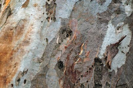 myrtaceae: Eucalyptus bark texture.        Stock Photo