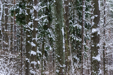 piny: Snow in piny and fir forest. Snowy winter weather. Stock Photo