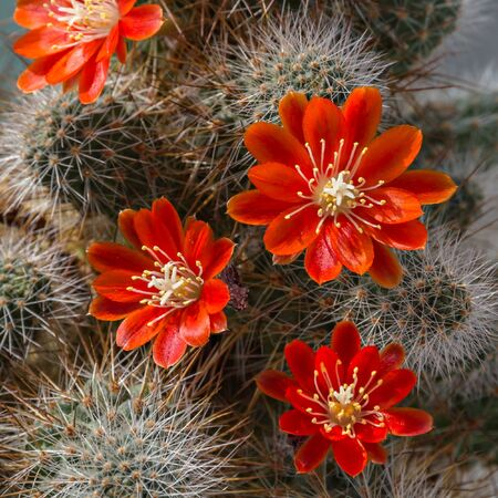 flowering cactus: Red flowers of cactus Aylostera.