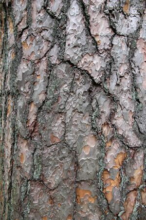 piny: Pine tree bark texture. Natural textured background. Stock Photo