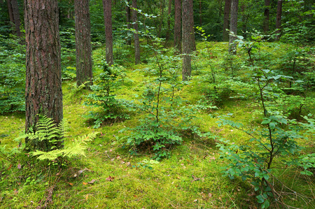 spruce: Mixed pine and deciduous forest.