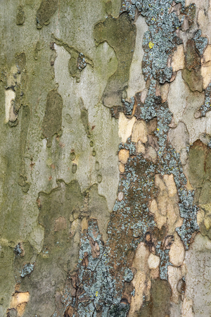 bark background: Bark of old plane tree. Natural textured background.
