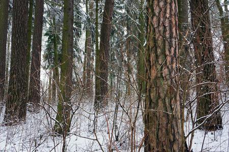 boles: Pine forest in snowy winter.