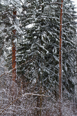 boles: Pine and fir forest in snowy winter.