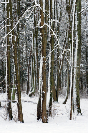 tronco: Del arbolado en invierno cubierto de nieve.