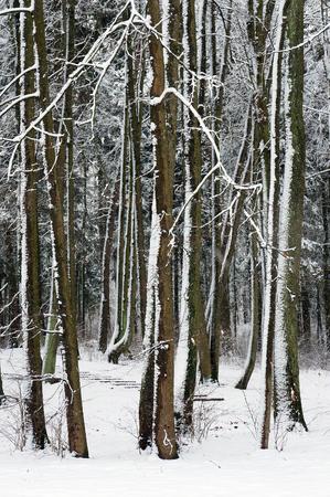 boles: Woodland in snowy winter. Stock Photo