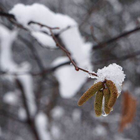 catkins: Snow on catkins of alder tree in winter. Stock Photo