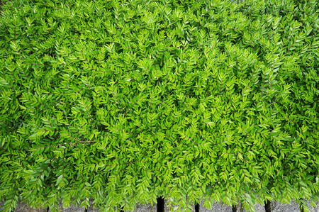 lush: Lush foliage of growing bushes. Natural green background.