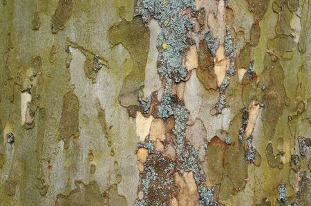 bark background: Bark of old plane tree (sycamore). Natural textured background. Stock Photo