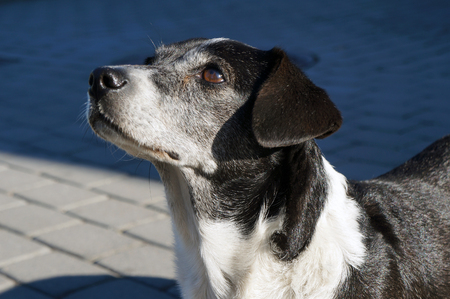 black hairs: Black and white dog with brown eyes.