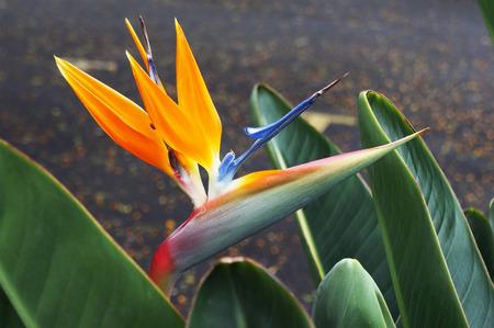 Bird-of-paradise flower (Strelitzia reginae). Beautiful exotic Madeira plant.
