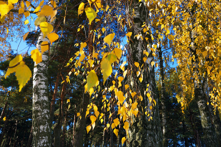 Yellow leaves in autumn. Birch grove in the fall. Stock Photo