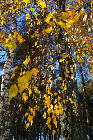 Yellow leaves birch of birch in autumn. Grove in the fall.