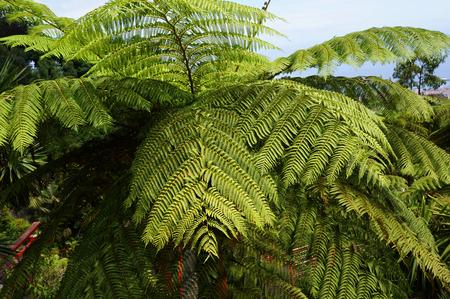 Hay-scented fern (Dennstaedtia punctilobula). Stock Photo