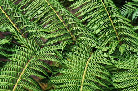 Leaves of fern. Natural green background.