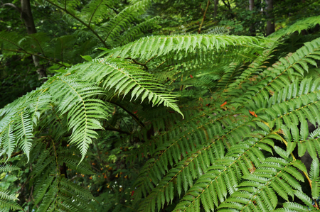 Green foliage of fern in tropical forest. Stock Photo