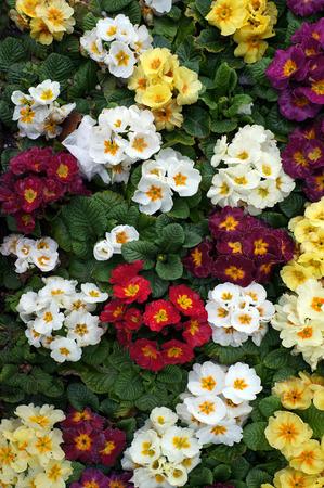 Colorful flowers of Primrose (Primula). Seasonal spring plant. 写真素材