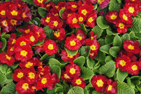 Red flowers of Primrose (Primula). Seasonal spring plant.