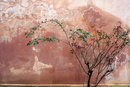 Rose bush on the background of an old weathered wall. 写真素材