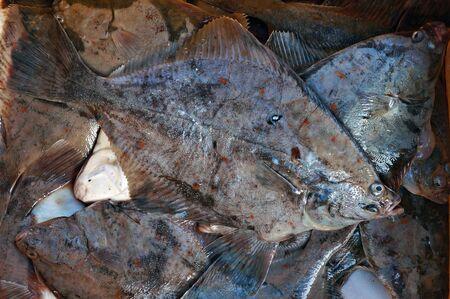 Freshly caught fish - flounder (plaice) from Baltic sea.      Reklamní fotografie